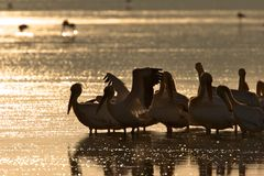Pelicans on Lake at Sunrise Stock Image