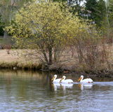 Pelicans on lake Stock Photography