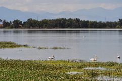 Pelicans on a Lake. White pelicans rest on a Colorado lake with mountains in the background stock photo