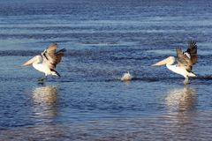 Pelicans landing on water at sunset Stock Photography