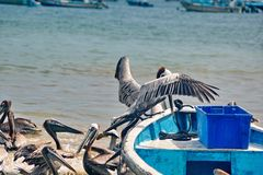 Pelicans landing on a boat. Peruvian pelicans - Pelecanus thagus - landing on a fishing boat beside a bucket of fish in Puerto Lopez, Ecuador stock photography
