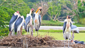 Pelicans. Is a large bird which found to breed in peninsular India, Sri Lanka and Cambodia stock photos