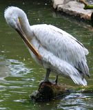 Pelicans are a large water birds. They are characterised by a long beak and large throat pouch used for catching prey and draining water from the scooped up stock image