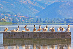 Pelicans (lat. Pelecanus Linnaeus) Royalty Free Stock Photo