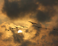 Pelicans in late afternoon sky Royalty Free Stock Photo