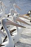 Pelicans lined up to feed, Kangaroo Island Stock Photos