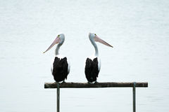 Pelicans looking around Royalty Free Stock Photography