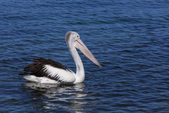 Pelicans looking for a feed at Narooma. Peaceful scene of Australian Pelican swimming in sea Stock Image