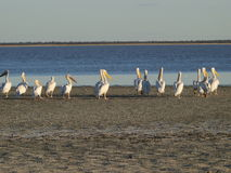 Pelicans. Looking out across the Makgadigadi Salt Pans in Botswana Stock Image
