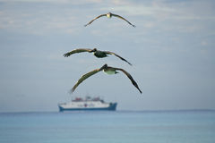 Pelicans looking for their pray Royalty Free Stock Images