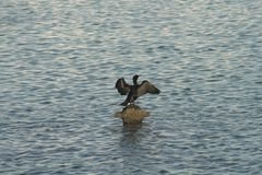 Pelican bathing in the sun. The Pelicans love to bath themselves in the sun in the middle of the water Stock Image