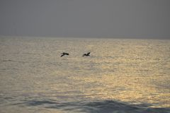 The pelicans make their way across the early morning seascape just off of Amelia Island, Florida. The ocean sunrise is always a special time of the morning as stock image