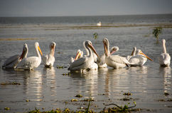 Pelicans in marsh. Flock of white pelicans wading in marshy water by Lake Chapala, Mexico stock image