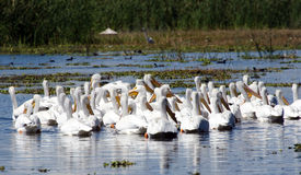 Pelicans in marsh. Pelicans swimming on marshland water on lake Chapala royalty free stock images