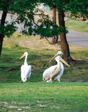 Pelicans in a meadow. Pelicans walking in a meadow - Park in Italy stock image