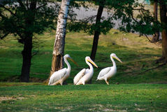 Pelicans in a meadow. Pelicans walking in a meadow - Park in Italy stock photography
