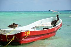 Pelicans from Mexico. Pelicans fishing and waiting on the fishing boats in playa del carmen, Mexico royalty free stock photos