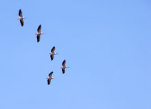 Pelicans migrating Royalty Free Stock Images