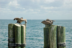 Pelicans on mooring poles. Two pelicans sitting on wooden mooring poles Stock Photos