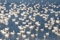 Pelicans and more pelicans. During their migration from middle east to Africa, hundred of pelicans have a rest stock images