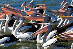 Pelicans with mouths open. A tight crop showing 10+ Australian Pelicans Pelecanus Conspicillatus at The Entrance, NSW Central Coast, Australia. Sunlight shines Royalty Free Stock Images