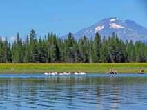 Pelicans and Mt Bachelor Stock Image