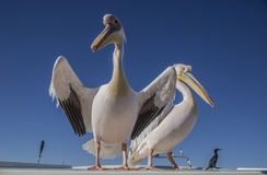 Pelicans in Namibia Stock Image