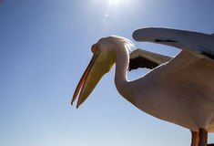 Pelicans in Namibia Royalty Free Stock Images