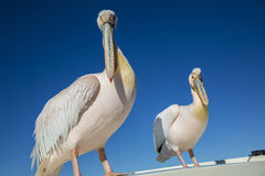 Pelicans in Namibia Stock Photo