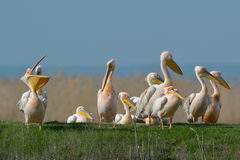 Pelicans in natural habitat Stock Photo