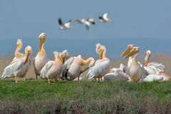 Pelicans in natural habitat Stock Images