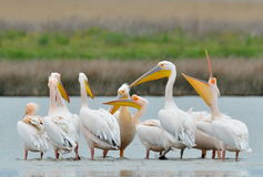 Pelicans in natural habitat Royalty Free Stock Photo
