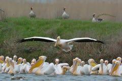 Pelicans in natural habitat Stock Photos