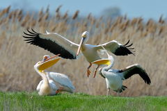 Pelicans in natural habitat Royalty Free Stock Photography