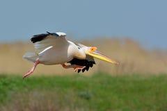 Pelicans in natural habitat. Pelecanus onocrotalus royalty free stock images