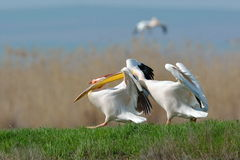 Pelicans in natural habitat Royalty Free Stock Image