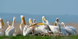Pelicans in natural habitat Royalty Free Stock Images