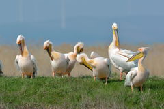 Pelicans in natural habitat Stock Photography
