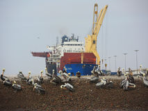 Pelicans in the natural park Ballestas Island. Royalty Free Stock Photo