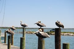 Pelicans of NC royalty free stock image