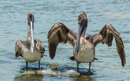 Pelicans while near Holbox. On the way to holbox in chiquila, found this pelicans having fun stock image