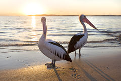 Pelicans royalty free stock images