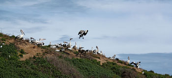 Pelicans nesting on Sand Dune Royalty Free Stock Photos