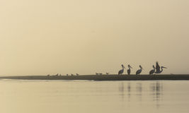 Pelicans on Nudgee beach in Australia. Pelicans on Nudgee beach in Australia, Australasian Royalty Free Stock Images