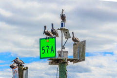 Pelicans on Ocean Channel Marker Stock Photo