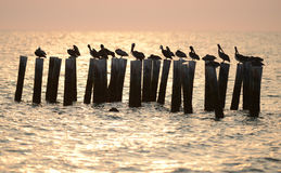 Pelicans in ocean at sunrise Stock Photo