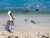 Pelicans at  Ojanjestad Aruba a caribbean island in the Dutch An Royalty Free Stock Image