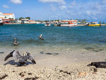 Pelicans at  Ojanjestad Aruba a caribbean island in the Dutch An Stock Image
