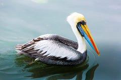 Free Pelicans On Ballestas Islands,Peru South America In Paracas National Park. Stock Photo - 36189390