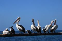 Pelicans and other group of sea birds in the blue sea Stock Photos